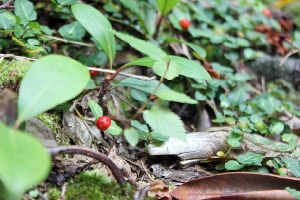 Red berries on the forest floor